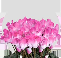 Indiaka®<br/>Fuchsia